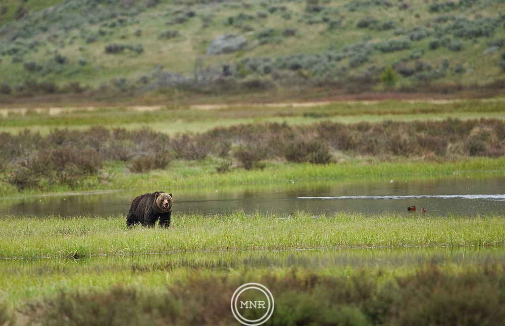 A lone Grizzly Bear looks over Swan Lake in Yellowstone National Park.