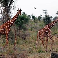Africa, Kenya, Meru. Reticulated Giraffe of Meru National Park.