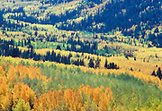 Changing of the aspen leaves near Salida, Colorado.
