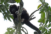 Alamor - Wednesday, Jan 09 2008: A male Black Howler Monkey (Alouatta caraya) sits on a branch near Hacienda Banderones near Alamor, Loja Province, Ecuador.  (Photo by Peter Horrell / http://www.peterhorrell.com)
