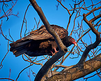Turkey Vulture in a Neighbors Tree. Image taken with a Fuji X-T1 camera and 100-400 mm OIS telephoto zoom lens (ISO 200, 400 mm, f/5.6, 1/60 sec).