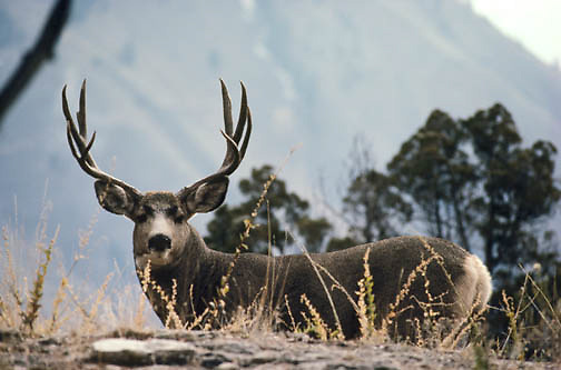 Mule deer (Odocoileus hemionus) glancing back at an intruder before fleeing over a ridge.