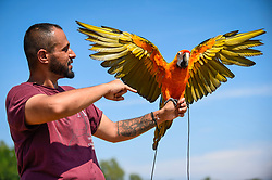 © Licensed to London News Pictures. 11/08/2020. LONDON, UK. Chucky BW, a bird trainer, puts Rio, a 3 year old tropicana macaw, through her paces on Primrose Hill in temperatures of 34C.  The forecast is for the heatwave to continue before thunderstorms arrive towards the end of the week.  Photo credit: Stephen Chung/LNP