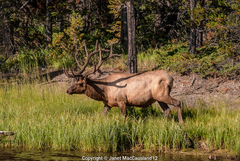 The elk (Cervus canadensis), or wapiti, is walking down to pond for a drink in Yellowstone.