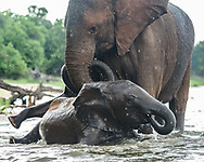 Female elephant plays with her baby and a young elephant in the water at the edge of the Chobe River, © David A. Ponton