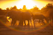 African elephants (Loxodonta africana) in the dust, Chobe National Park, Botswana.