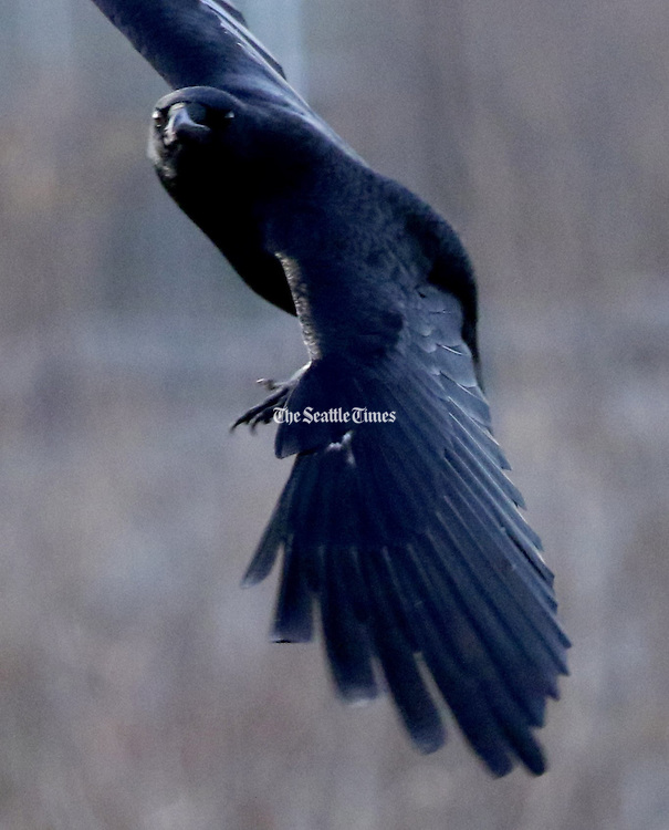 On the wing, a crow cruises over the Union Bay Natural Area, a popular birding area behind the Center for Urban Horticulture. (Alan Berner / The Seattle Times)