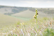 Early spider orchid (Ophrys sphegodes) on chalk downland. East Sussex, UK.