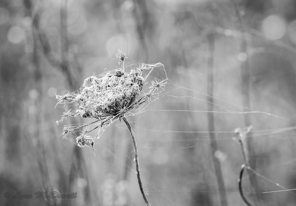 Dried winter Queen Anne's Lace highlighted by spider webs and a beautiful graphic background all came together in this image.