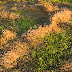 Salt marsh grass in spring.  Strawberry Hill Preserve in Ipswich, Massachusetts.