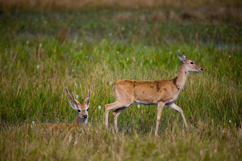Aquidauana_MS, Brasil...Veado macho e femea na fazenda Rio Negro no Pantanal...The male and female deer in the Rio Negro farm in Pantana..Foto: JOAO MARCOS ROSA / NITRO