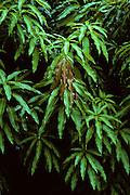 Mango leaves - Honduras.