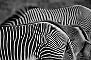 Work your way out of the designer maze on Grevy's Zebra in Lewa, Kenya.