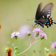 Swallowtail butterfly on pink flowers in spring  in South Texas.