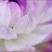 Macro view of waterlily-shaped lavendar and white dahlia petals open towards sunlight, enhanced by soft acrylic paint brushstrokes selectively applied.