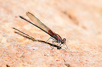 Very similar to the closely-related and common American rubyspot, the canyon rubyspot is a very rare damselfly found only in Arizona. This one was found on a rock sticking out of the water in the Sonoita Creek in Santa Cruz County.