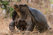 Saddleback form of Galapagos Giant Tortoise  (Geochelone elephantophus)<br /> Wolf Volcano, Isabela Island, GALAPAGOS ISLANDS<br /> ECUADOR.  South America<br /> In December 2008 a team of Galapagos National Park Guards, Scientiests and Vets spent 2 weeks on the volcano capturing 1663 Giant Tortoises to take blood samples and biometric data. The blood was sent to the USA for DNA analysis. Object to look for Pinta female for Lonesome George.  Distinct saddleback forms like Lonesome George found. Also Floreana genes were previously found. There seems to be a mixed gene pool possible from tortoises swimming ashore from ship wrecks etc.