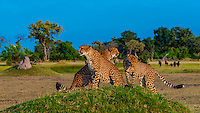 Cheetahs on a mound (wildebeest in background), Kwara Camp, Okavango Delta, Botswana.