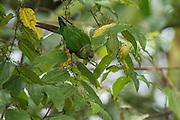 Maroon-Tailed Parakeet (Pyrrhura melanura pacifica)<br /> Mashpi Rainforest Biodiversity Reserve<br /> Pichincha<br /> Ecuador<br /> South America