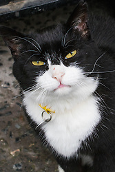 Downing Street, London, August 2nd 2016. Tensions appear to be ongoing in Downing Street as Larry the cat from No. 10 and Palmerston, newly resident at the Foreign Office continue their territorial feud. PICTURED: Foreign Office cat Palmerston.