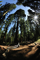 Sun Burst through the Giant Sequoias. Tuolumne Grove, Yosemite National Park - located near Crane Flat. Composite of three images taken with a Nikon D700 camera and 16 mm f/2.8 fisheye lens.