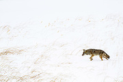 Coyote on the prowl for food in Yellowstone National Park.