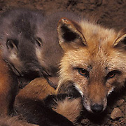 Red Fox, (Vulpus fulva) Mother with young kits in den. Spring.  Captive Animal.