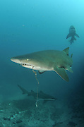 Grey nurse sharks (Carcharias taurus) are protected in New South Wales, yet they continue to be caught as bycatch within recreational and commercial fisheries, photographed off Seal Rocks, New South Wales, Australia, Pacific Ocean.