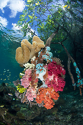 A rarely seen combination, Soft Coral growing on mangrove roots in clear water. Nampele, Raja Ampat, West Papua, Indonesia, Indian Ocean