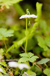 Eenbloemig wintergroen, Moneses uniflora