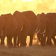 African elephants in Amboseli National Park, Kenya, Africa.