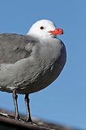 Heerman's Gull - Larus heermanni