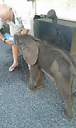 """Amazing as Baby elephant saved by truck drivers<br /> <br /> The truckers were forced to stop on their way to Nata because a bridge had washed away. Whilst waiting for the bridge to be fixed… the little elephant appeared; and the men realised it was dehydrated, according to a post by Global March for Elephants and Rhinos.<br /> <br /> Global March said: """"Thank you to these compassionate men who stopped and helped this 3 week old orphaned baby elephant."""" (It's not certain whether the elephant was orphaned actually… or just abandoned by its herd.)<br /> <br /> Photos and video of the rescue by Chantelle Beyleveld who wrote:  Afriag men hold their name high. They saved a 3 week old elephant without its mother. He will be safe at the Elephant Sands Animal Rescue in Nata<br /> <br /> Fortunately having their truck, the men were able to take the little elephant to the closest sanctuary. Apparently they did first search for the calf's herd but couldn't find it.<br /> ©Chantelle Beyleveld/Exclusivepix Media"""