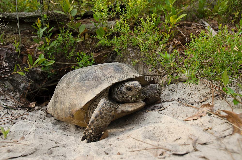 Gopher Tortoise (Gopherus polyphemus) Female at burrow<br /> The Orianne Indigo Snake Preserve<br /> Telfair County. Georgia<br /> USA<br /> Threatened species in Georgia<br /> HABITAT & RANGE: Frequently burned longleaf pine & oak forests & sandhills & areas of good ground cover. Southeast USA