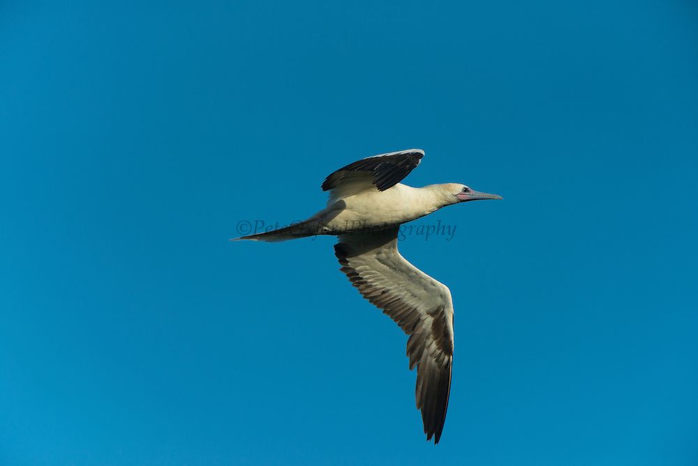 Red-footed Booby (Sula sula) white morph<br /> Halfmoon Caye colony<br /> Lighthouse Reef Atoll<br /> Belize<br /> Central America