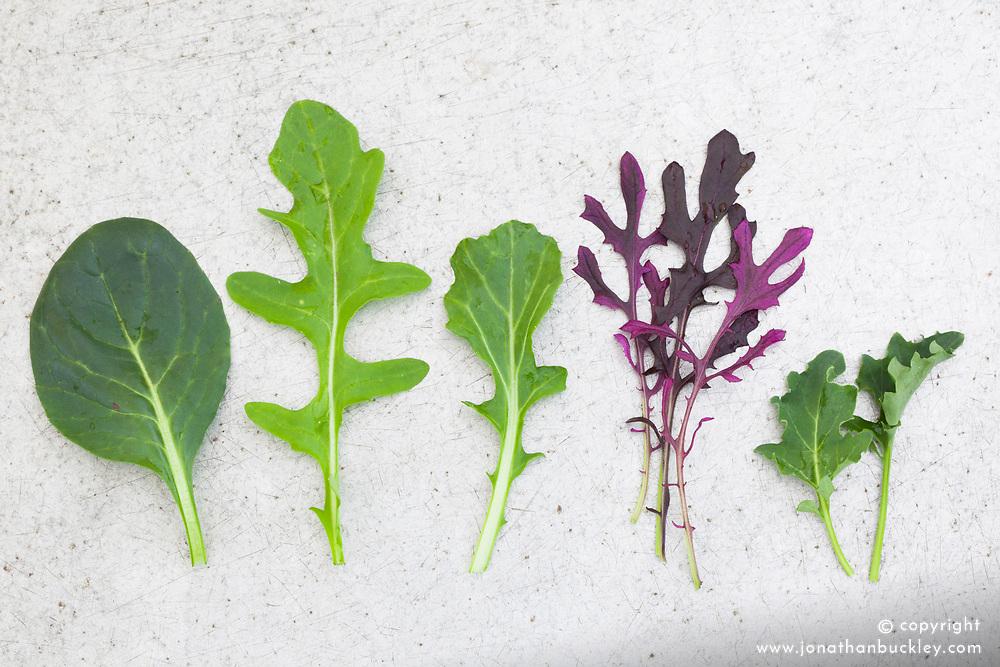 Winter baby salad leaves. Komatsuna, Salad Rocket 'Serrata', Green Mizuna 'Marshall', Mustard 'Red Lace', Kale Dwarf Blue Curled