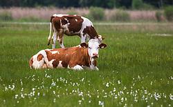 THEMENBILD - Kühe auf einer Wiese im Hintergrund der Zell See, aufgenommen am 10. Mai 2018, Zell am See, Österreich // Cows in a meadow in the background the Zell lake on 2018/05/10, Zell am See, Austria. EXPA Pictures © 2018, PhotoCredit: EXPA/ Stefanie Oberhauser