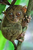 The Philippine Tarsier - Tarsius syrichta or Carlito syrichta) - known locally as the Maumag in Cebuano Visayan and Mamag in Luzon, is an endangered species of tarsier endemic to the Philippines.  It is found in the southeastern part of the archipelago, particularly in Bohol.  The tarsier was only introduced to Western biologists in the 18th century.