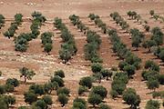 Olivenhain bei Bethlehem , Palästina, West Bank, Israel.|.olive plantation near Bethlehem, Palestine, West Bank, Israel.