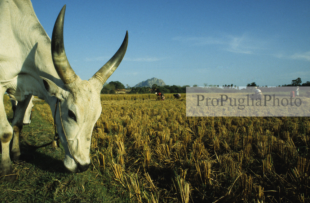 Kenyakumary, India 1994. Local farmers cutting rice's plants and a sacred cow taste the fresh herbs.