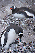 Gentoo penguin sitting on nest with eggs and chicks. Port Lockroy, Antarctic Treaty Historic Site No. 61, British Base A. Home to a small Gentoo penguin colony. Antarctica.
