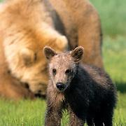 Alaskan Brown Bear, (Ursus middendorffi) Young cub walking forward, mother in background. Katmai National Park. Alaska.