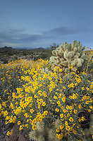 Twilight over the Sonoran desert, featuring Brittlebush (Encelia farinosa) and Cactus, Superstition Mountains, Arizona