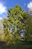 Norway Spruce - Picea abies, Stoke Wood, Oxfordshire