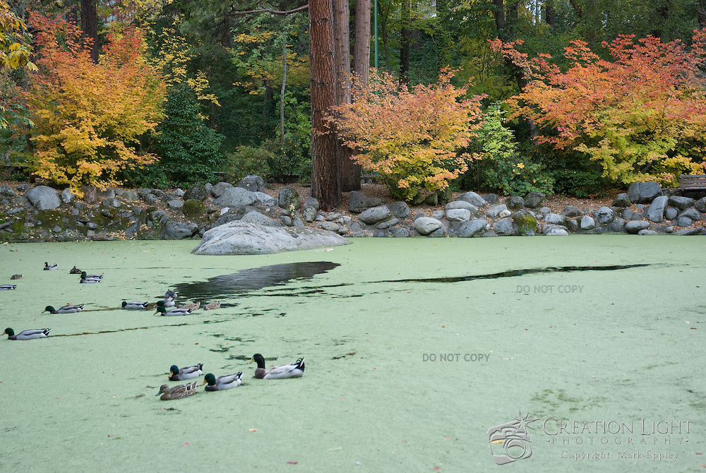 Lithia Park is the largest park of Ashland, Oregon stretching from the downtown plaza up toward the headwaters of Ashland Creek.  The park has two duck ponds.