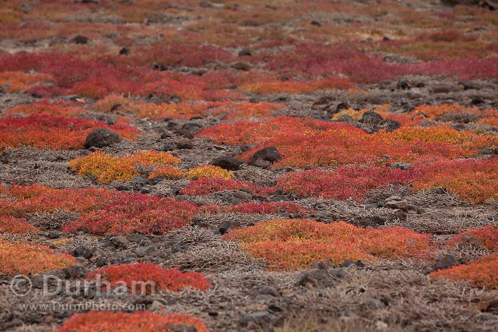 Orange sesuvium plants (Sesuvium edmondstonei) on South Plazas Island, Galapagos Archipelago - Ecuador.