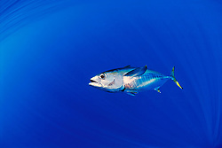 juvenile yellowfin tuna football or `A-hi in Hawaiian, Thunnus albacares, Kona, Big Island, Hawaii, USA, Pacific Ocean