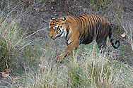 Bengal tiger, Panthera tigris tigris, Male, Kanha National Park and Tiger Reserve, Madhya Pradesh, India