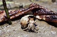 5/24/2010  Hermit crab exposed to BP oil in front of a piece of boom that has some oil on it on a small barrier island in  Barataria Bay inLouisiana.