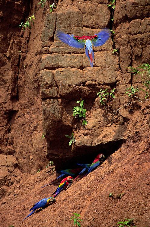 3 Species of Macaws on Clay Lick<br />Blue & Yellow, Scarlet and Red & Green<br />Ara  Ararauna / Ara Macao /  Ara <br />Chloropter<br />on Timpia Clay Lick, Urubamba River.  PERU.  South America